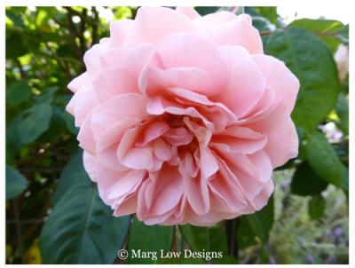 Rose-bloom